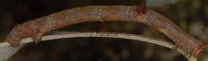 Hypomecis punctinalis L4-2