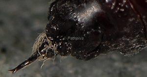 Hypomecis punctinalis