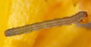 Isturgia miniosaria L1 11 2