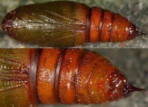 Isturgia miniosaria  chrysalide 11 1