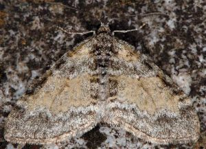 Lobophora halterata 05 1