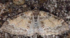 Lobophora halterata 05 2