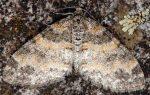 Lobophora halterata 05 3