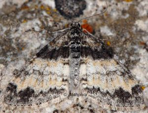 Lobophora halterata 05 5