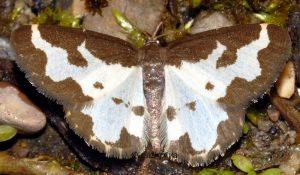 Lomaspilis marginata 05 1