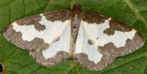 Lomaspilis marginata 06 4