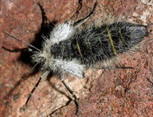 Lycia alpina femelle 05 2