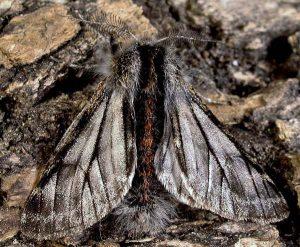 Lycia isabellae mâle 06