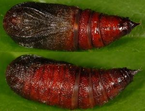 Lycia zonaria chrysalide