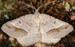 Macaria artesiaria 06 3