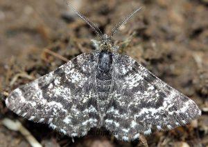 Macaria carbonaria 73 2