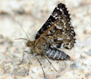Macaria carbonaria 73 3