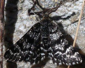 Macaria carbonaria 73