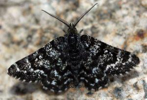 Macaria carbonaria 73 4