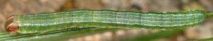 Macaria liturata L4 06 2