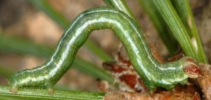 Macaria liturata L4 06 4