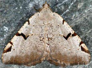 Macaria wauaria 06 1