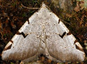 Macaria wauaria 06 2