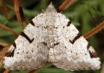 Macaria wauaria 06 3