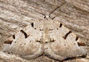 Macaria wauaria 65 1