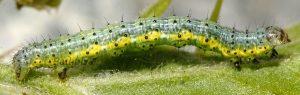 Macaria wauaria L4 3
