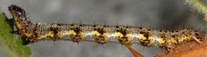 Macaria wauaria L5 1