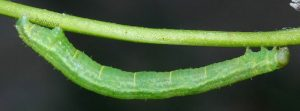 Melanthia alaudaria L5 05 2