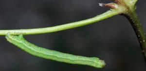 Melanthia alaudaria L5 05 3