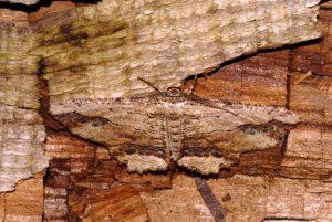Menophra abruptaria 06 1