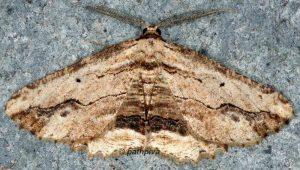 Menophra abruptaria 06 3