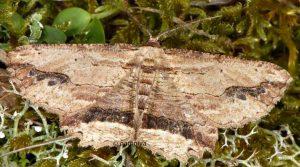 Menophra abruptaria 06 4