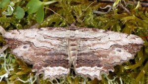 Menophra abruptaria 06 5