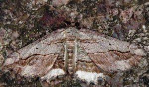 Menophra abruptaria 2B 1