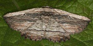 Menophra nycthemeraria