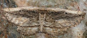 Menophra nycthemeraria 30 1