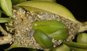 Menophra nycthemeraria cocon 06 1