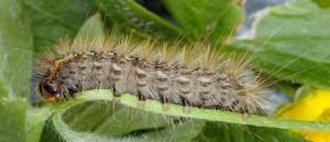 Ocnogyna parasita L5 06 5