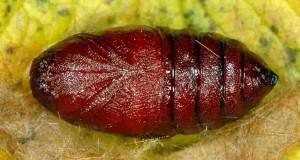 Ocnogyna parasita chrysalide femelle 06 1