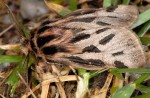 Ocnogyna parasita male 06 2