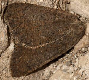 Onychora agaritharia 06 1