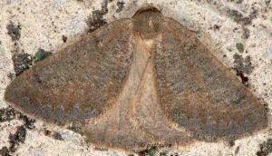 Onychora agaritharia 06 2