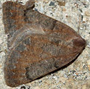 Onychora agaritharia 66 1