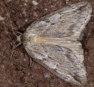 Pachycnemia hippocastanaria 06 1