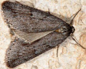 Pachycnemia hippocastanaria 06 2