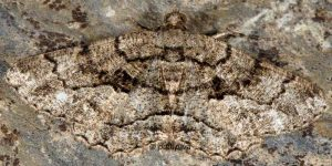 Peribatodes ilicaria 34 2