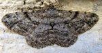 Peribatodes rhomboidaria 06 4