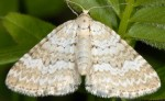 Perizoma albulata 73 1