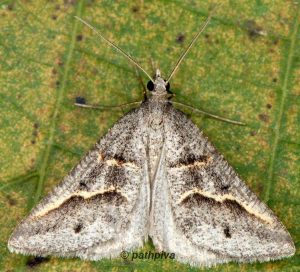 Petrophora binaevata 2B 2