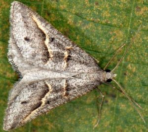 Petrophora binaevata 2B 3