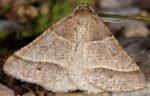 Petrophora narbonea 06 1